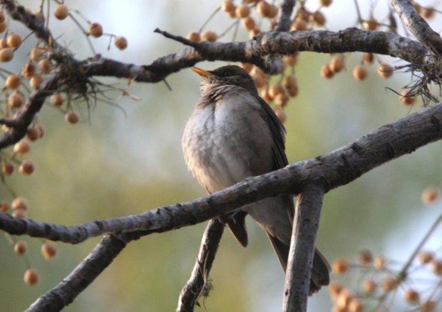 Por el ruido de las ciudades, los pájaros cada vez cantan menos