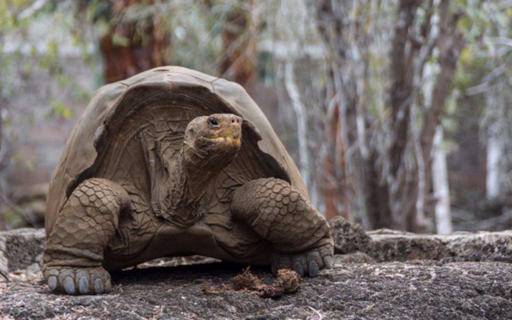Recuperan una especie de tortuga gigante que se creía extinta hace más de 150 años