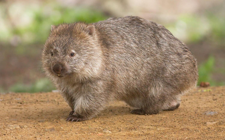 Incendios en Australia: ¿Es real que los wombats comparten sus madrigueras con animales más pequeños?