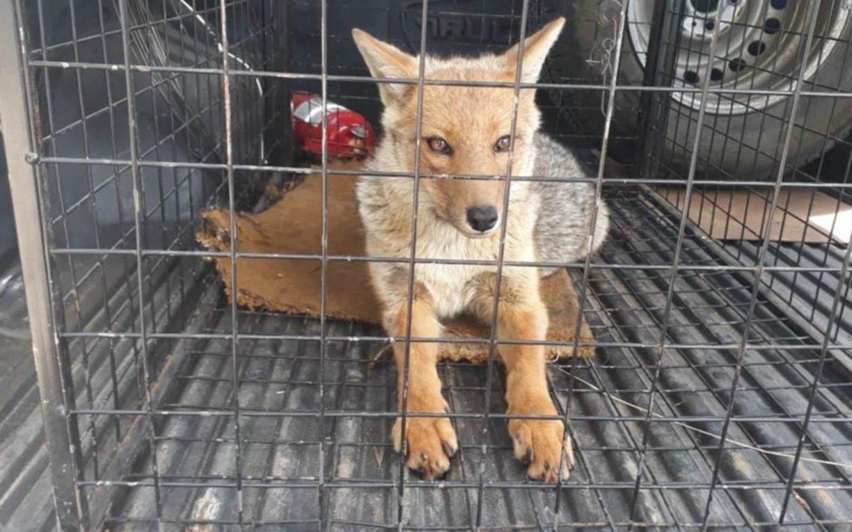 Atraparon un zorro en el centro de San Carlos de Bariloche