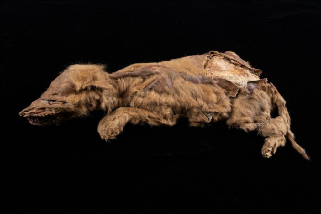 Casi intacto: hallan un cachorro de lobo de 57.000 años cubierto de piel