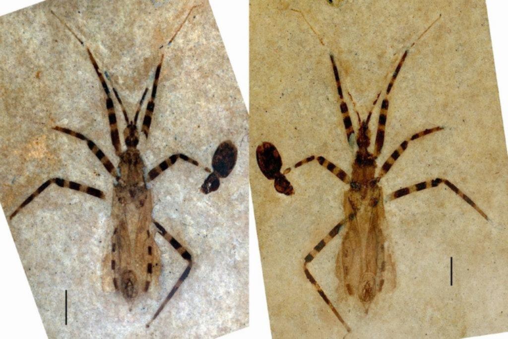 Todo en su lugar: hallan 'insecto asesino' milenario con los genitales bien conservados