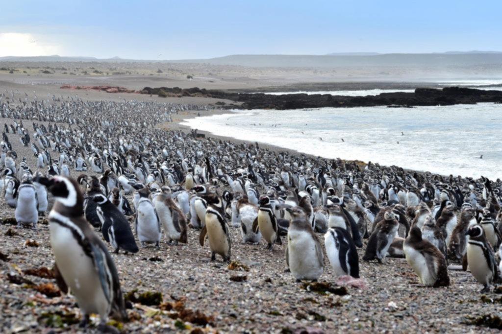 Punta Tombo colmada: ya llegaron más de un millón de pingüinos de Magallanes