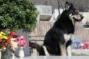 Murió el perro que visitó la tumba de su dueño durante 10 años