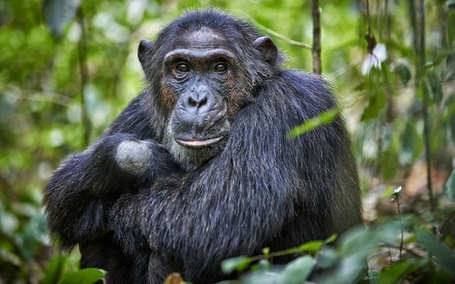 VIDEO.- ¡Qué monada! Un grupo de chimpancés se las ingenió para escapar de un zoológico