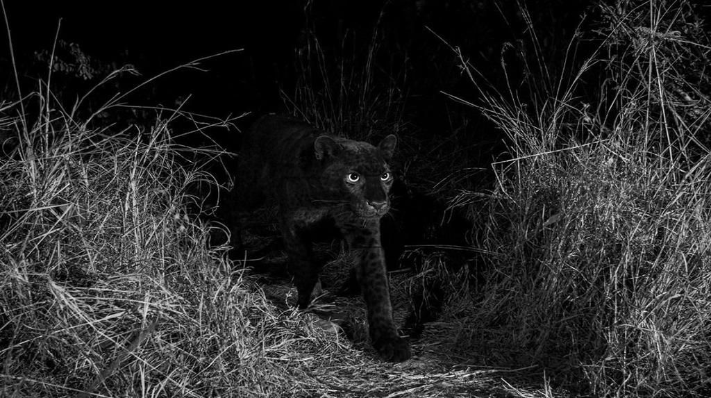 Logran fotografiar a un leopardo negro africano después de 100 años