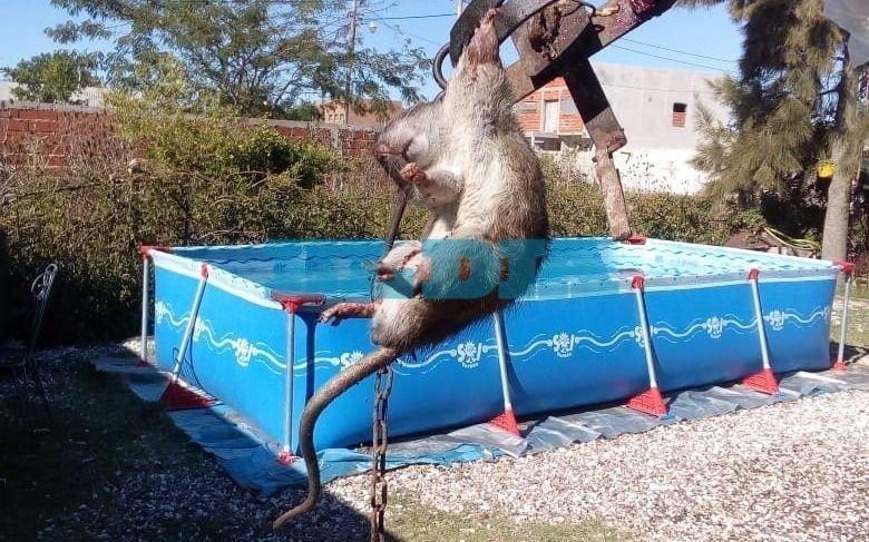 Denuncian presencia de ratas en una zona de Berisso