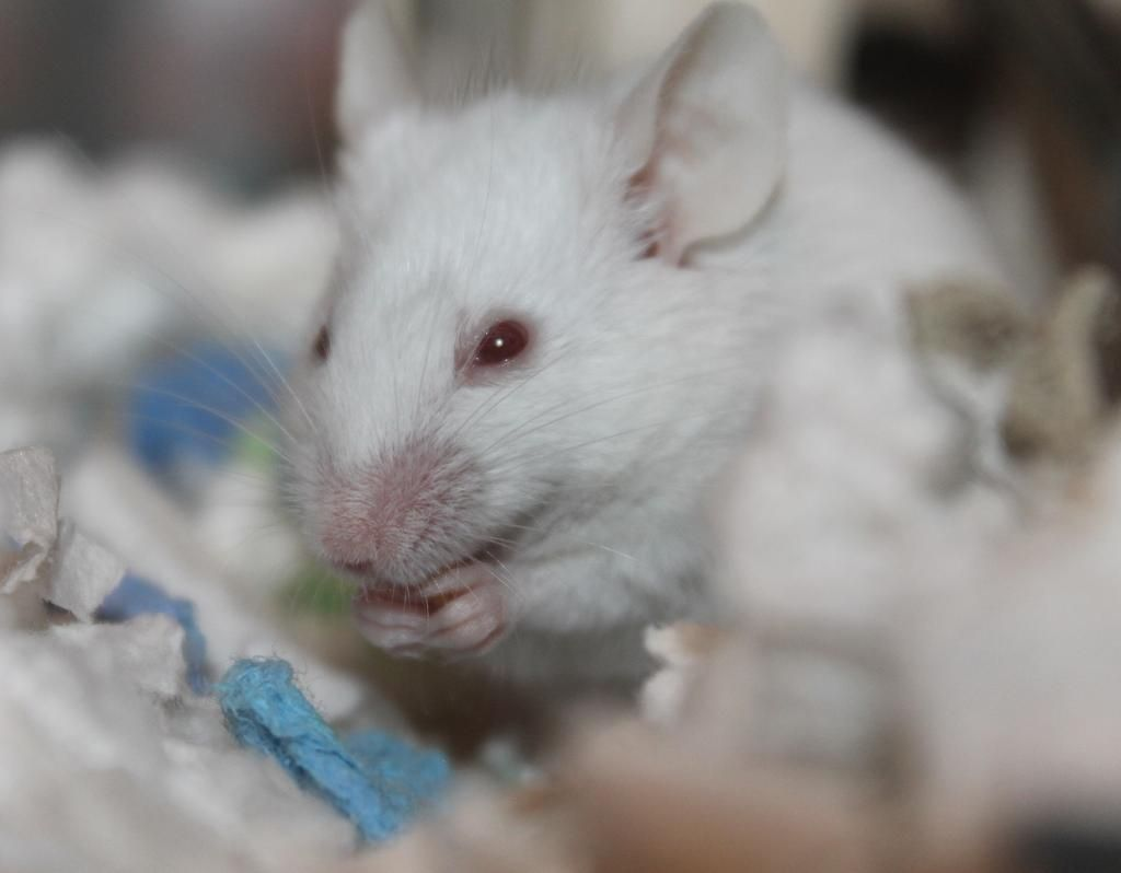 Hallan el circuito cerebral que maneja el deseo sexual en ratones hembra