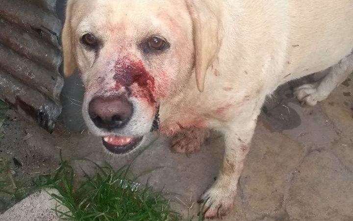 Teo, el perro atacado con un machete que enciende la bronca e indignación de un barrio