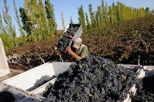 Vendimia 2021: El INV emitió los datos de Previsión de Cosecha de uvas para la Argentina