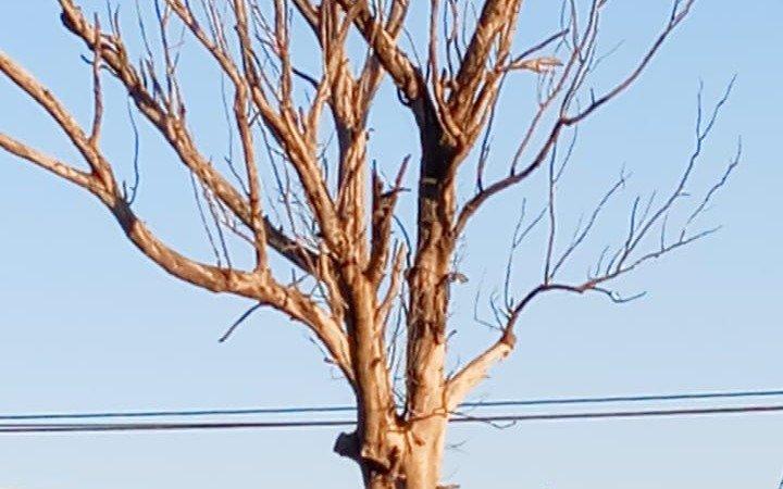 En boulevard 84 y 69, hace tres años reclaman por un árbol seco