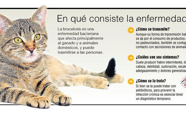Detectan En La Plata Brucelosis En Gatos Primeros Casos En El Pais Informacion General