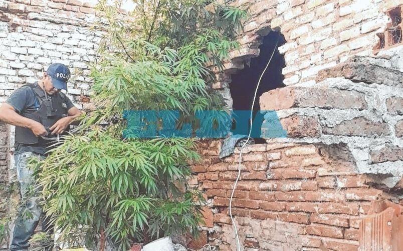 Ensenada: Lo buscaban por un robo pero hallaron una planta de marihuana de tres metros