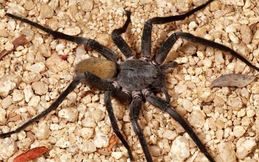 Feneció la araña más longeva del mundo