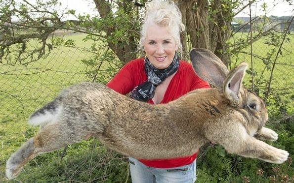 Desapareció Darius, el conejo más grande del mundo: ofrecen recompensa