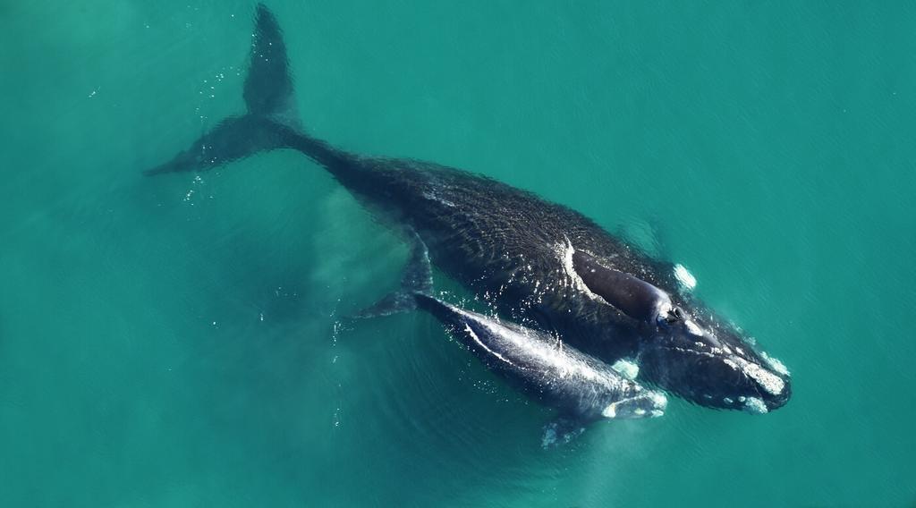 Aparecieron las primeras ballenas en la Península Valdés