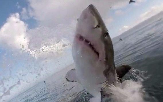 VIDEO. Encuentro cercano con un gran tiburón blanco