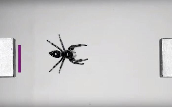 Video.- ¡Salta violeta! Entrenaron a una araña para descubrir sus ...