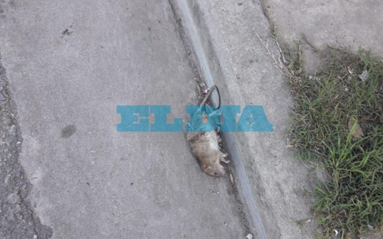 Presencia de roedores muertos alarma a los vecinos