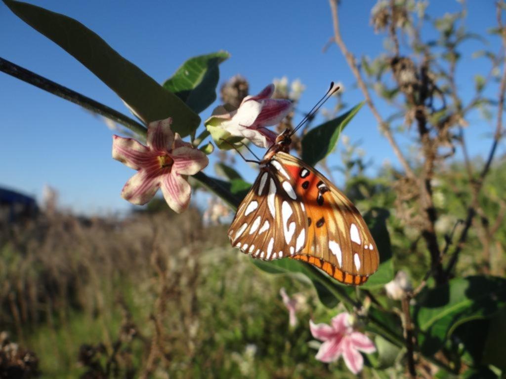 Mariposas, un show natural de 150 especies en la Región que ya empieza a bajar el telón