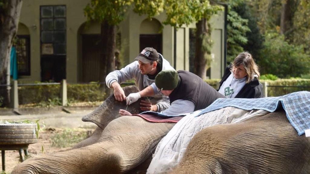 Murió la elefanta Pelusa, un emblema del zoológico de La Plata
