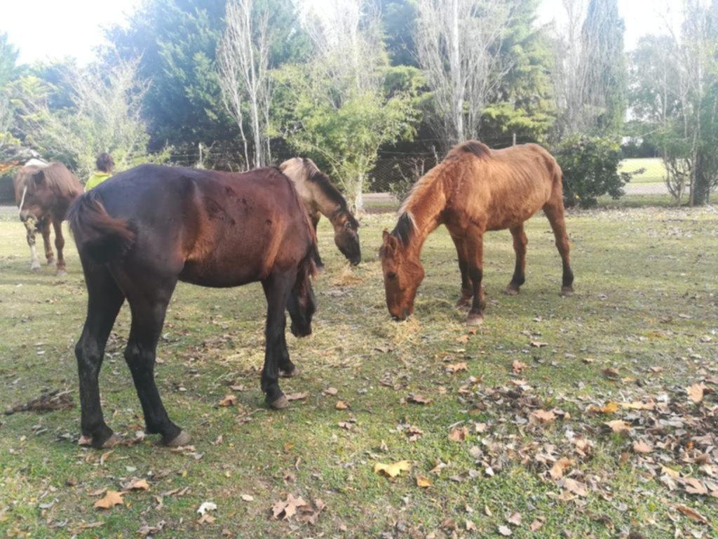 Ya rescataron a más de 150 caballos que habían sufrido maltratos y abandono