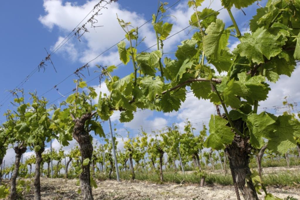 Bonarda: la uva de bajo perfil