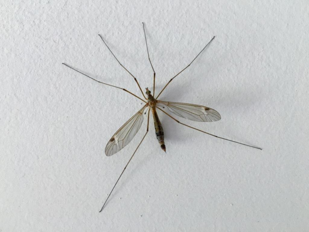 """Sorpresa por la invasión de """"mosquitos XL"""" en la Ciudad"""