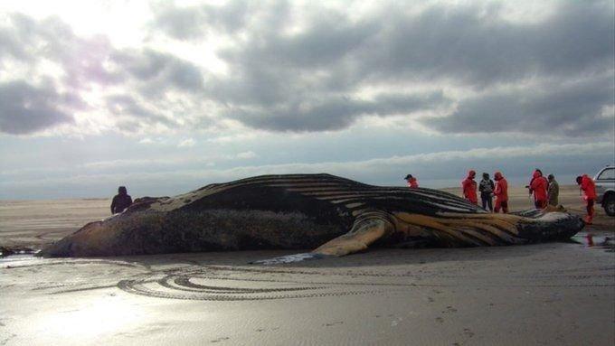 Analizaron el cuerpo de una ballena jorobada hallada muerta en  Coronel Dorrego