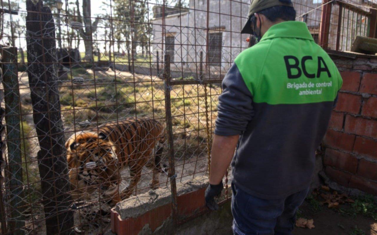Allanaron un campo santafesino y rescataron un tigre de bengala y una leona
