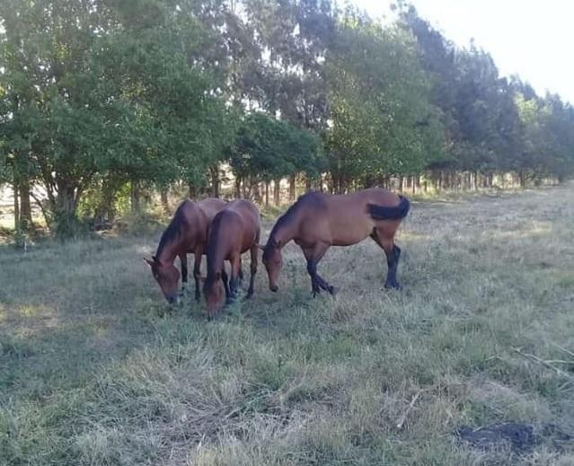 Cuatreros cortan un alambrado y se llevan 3 caballos de un campo de Abasto