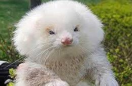 Le venden dos ratas brasileñas como caniches toy en La Salada