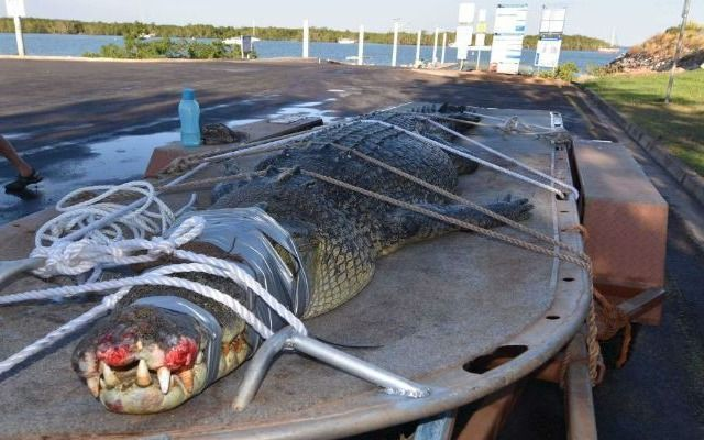 Capturaron un enorme cocodrilo de casi cinco metros de largo — Australia