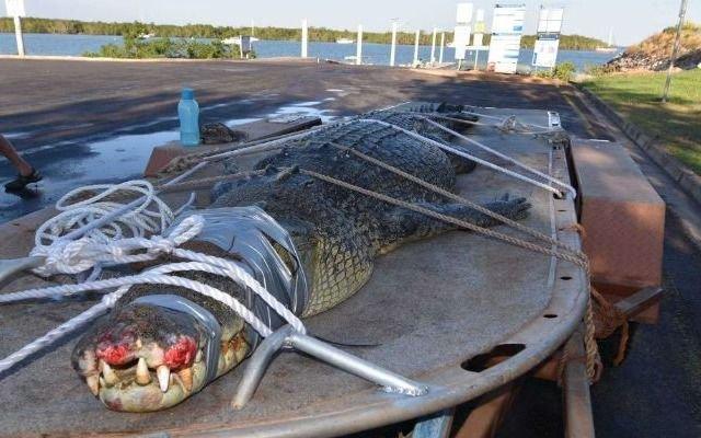 Mascotas: Capturaron a un monstruoso cocodrilo de 600 kilos en Australia (+fotos)