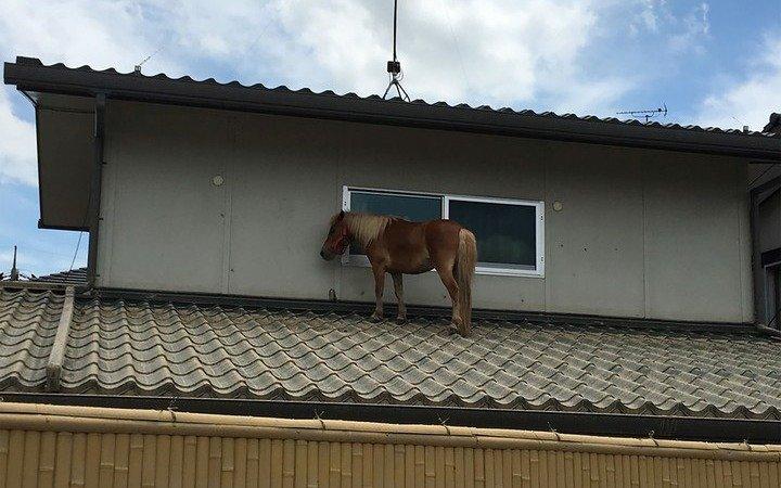 Japón: una yegua se salvó de la inundación subiéndose a un techo