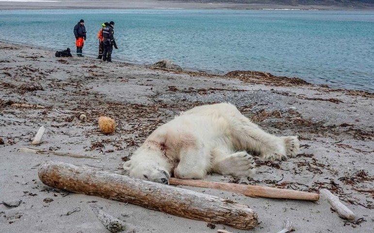 Asesinan a oso polar en Noruega tras atacar a un guía turístico