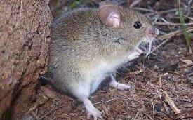Aseguran que el roedor que transmite un tipo de fiebre hemorrágica no vive en suelo argentino