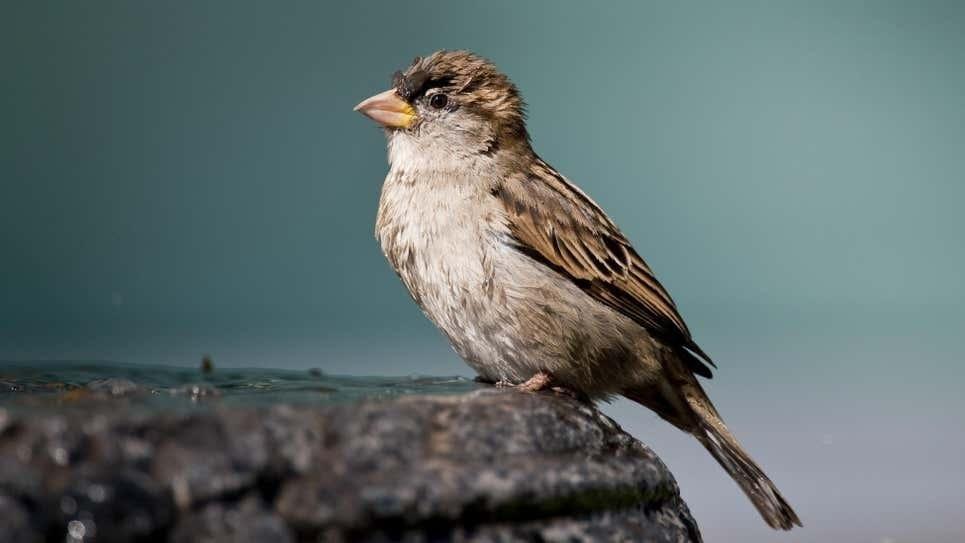 En extinción: los pájaros cantores se están muriendo, y nadie sabe por qué