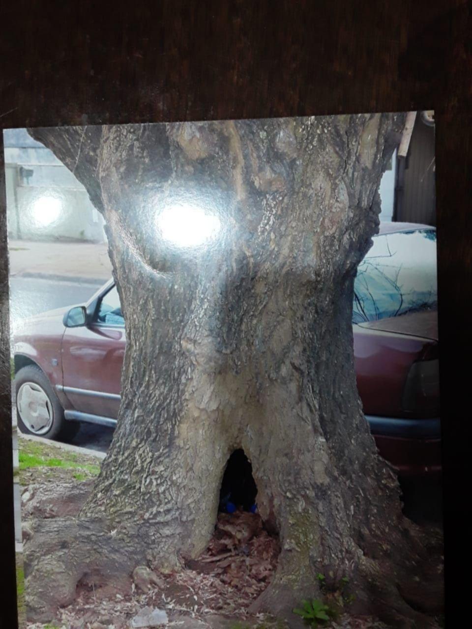 Piden con urgencia por la extracción de un árbol en mal estado en 24 entre 56 y 57