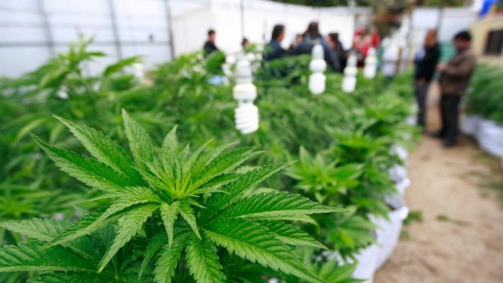 Exactas inaugura en el Bosque su propio cultivo de marihuana