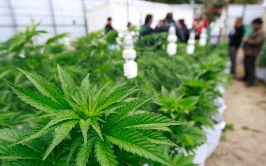 Investigadores platenses descubren beneficios del cannabis en la función cardíaca