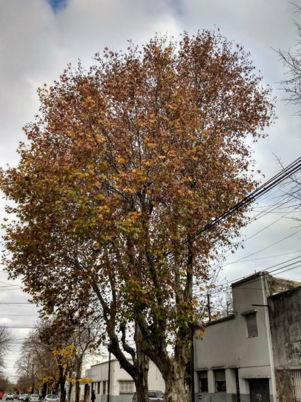 """En 5 y 70 piden por la poda de un árbol que  """"creció como un monstruo"""""""