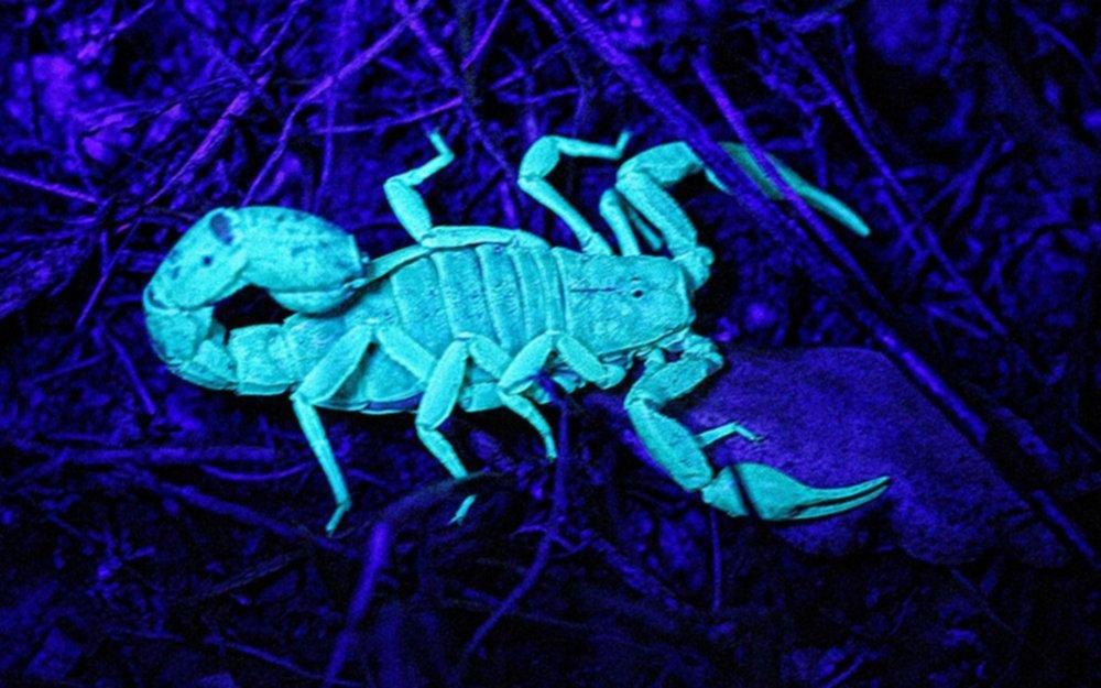 Presentan un sistema para detectar escorpiones que funcionará con luz  ultravioleta - Información General
