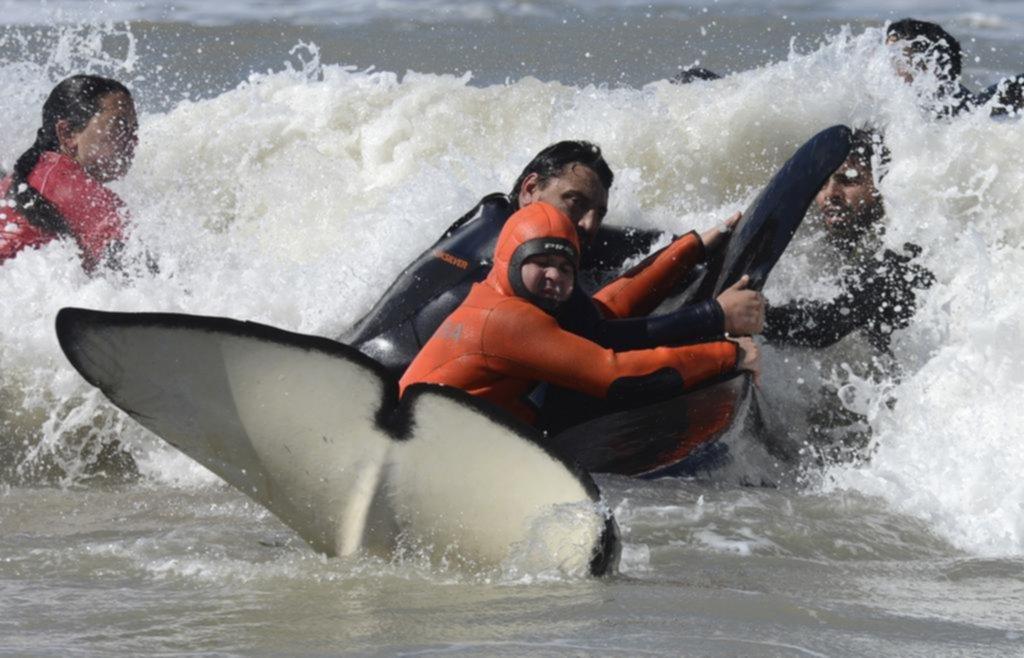 Logran salvar a 6 de las 7 orcas varadas en Mar Chiquita