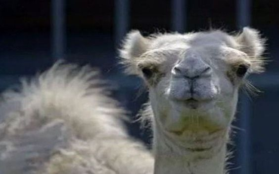 Tuvo que morderle los testículos a un camello para salvar su vida