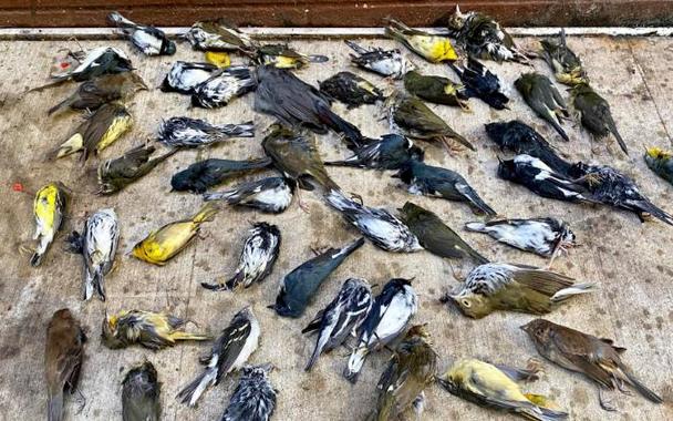 Cientos de aves migratorias muertas en Nueva York trasestrellarsecontra rascacielos
