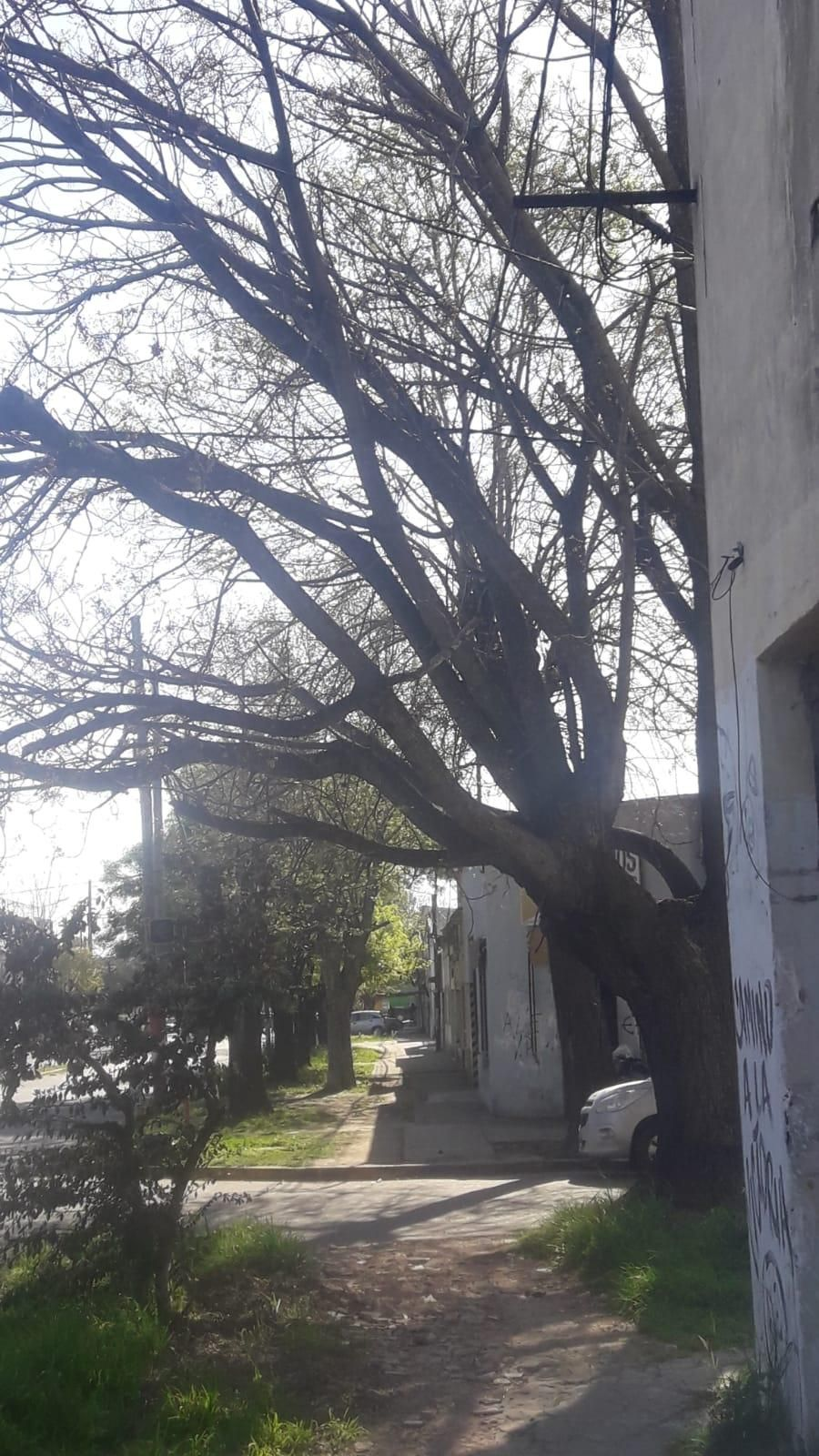 Piden despunte de un árbol en la esquina de 121 y 72