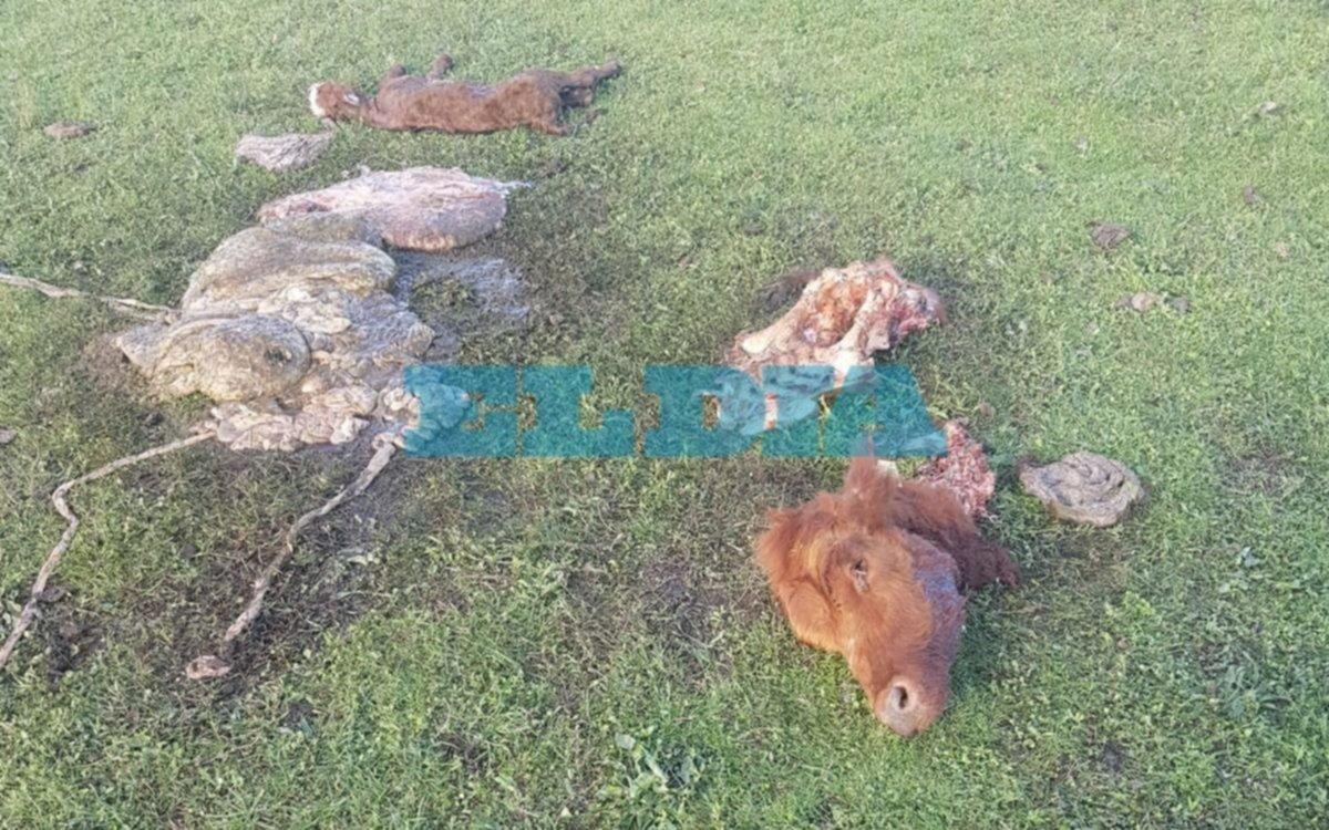 Degollaron y cortaron la cabeza de una vaca preñada: familia de Berisso teme por su seguridad