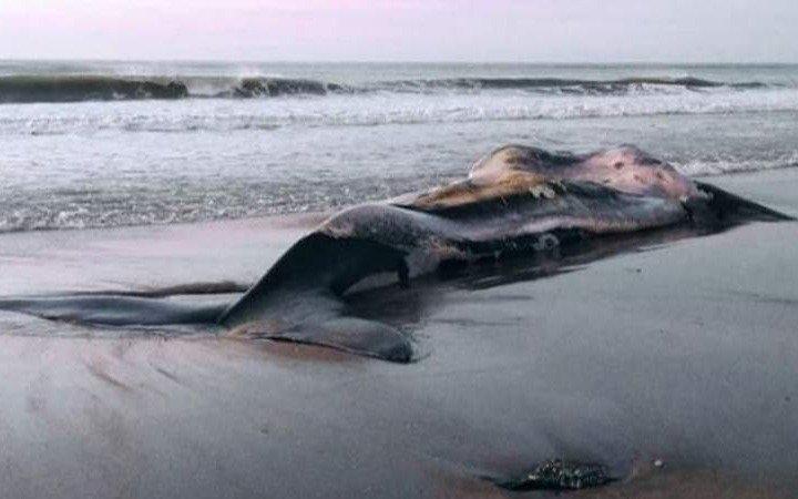 Apareció una ballena franca muerta en las playas de Necochea