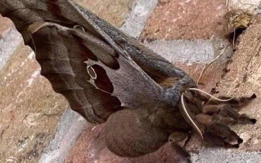 """Una especie que mete miedo: las """"tarántulas voladoras"""" que ponen en alerta a México"""